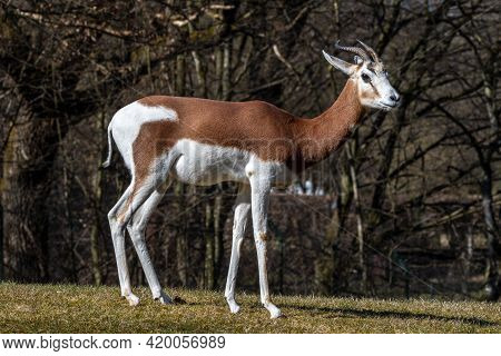 Dama Gazelle, Gazella Dama Mhorr Or Mhorr Gazelle Is A Species Of Gazelle. Lives In Africa In The Sa