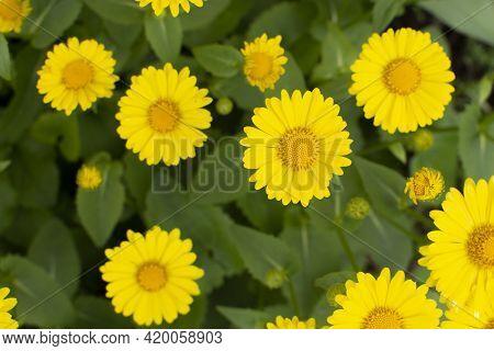 Yellow Daisy Doronicum Leonardo Asteraceae Close-up Flower In The Spring Garden Background