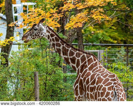 The Giraffe, Giraffa Camelopardalis Is An African Even-toed Ungulate Mammal, The Tallest Of All Exta