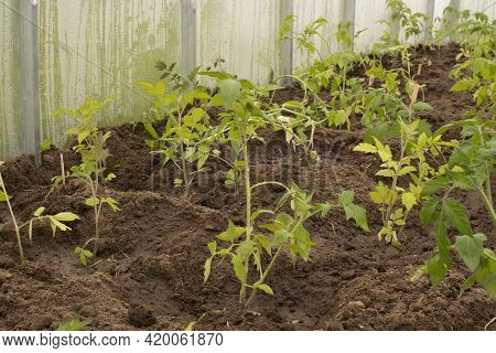 Tomato Saplings In The Greenhouse In The Spring. Tomato Seedlings Grown For The Garden.