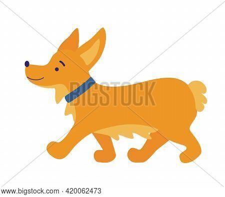 Corgi Dog. Cute Friendly Welsh Corgi Puppy Walking. Cute Dog Breed Welsh Corgi. Pets, Animals, Canin