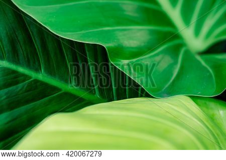 Green Leaf Texture Background. Beauty House Plant In The Garden. Indoor Plants. Green Leaf For Home
