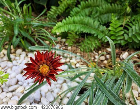 Close Up Of Red African Daisy Flower With Green Leaf And White Gravel Background. Cape Daisy In The