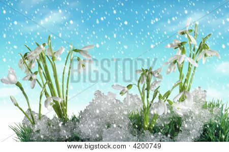 Snow Drops And Winter