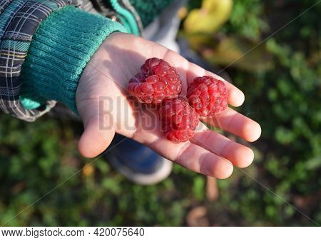 Red Raspberry Berries On A Kid's Palm. Raspberries Full Of Vitamins For Children And Kids. Health Be