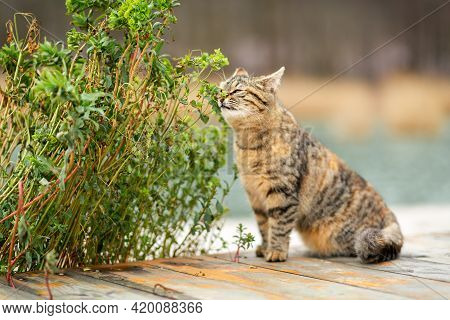 A Striped Brown Cat Sniffs A Green Plant And Its Leaves. In The Background, A Blurred Background Of