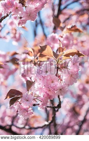 Pink Sakura, Cherry Blossom Twigs With Flowers On Bright Day. Pink, Magenta Hues, Monochromatic Look