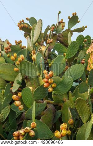Opuntia Indian Or Opuntia Is A Plant Of The Cactus Family, Often Cultivated For The Sake Of Edible F