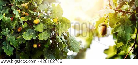 Autumn Background With Oak Branches In Sunny Weather. Oak Branches With Leaves And Acorns In The Sun