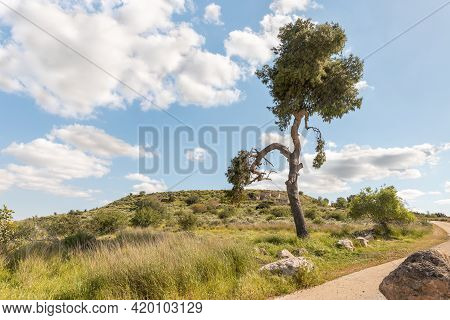 A Large Semi-dry Pine Tree Is Near The Excavations Of The Ancient Burial Caves Of The Sidonian Near