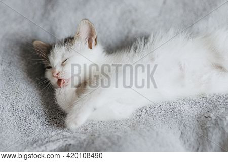 Cute Little Kitten Lying On Soft Bed And Cleaning. Adorable Grey And White Kitty Licking Paw, Relaxi