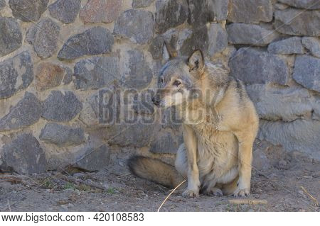 The Gray Wolf Is Resting On The Rocks. The Gray Wolf, Is A Large Canine Native To Eurasia And North
