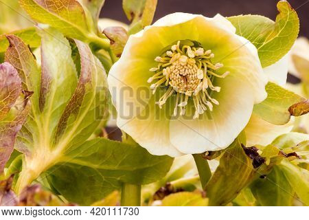 Blooming Spring Inflorescence Of Caucasian Hellebore Close-up.