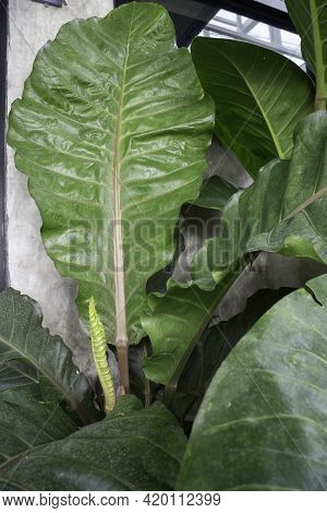 The White Young Leaves Of Philodendron Tropical Vine Plant, Stock Photo