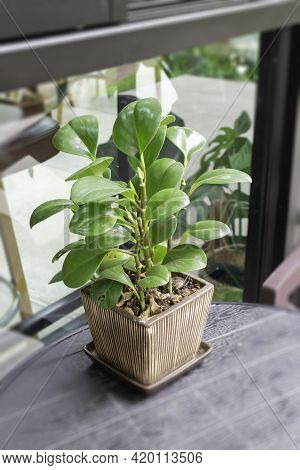 Green Plant Pot Decorated In Cafe, Stock Photo