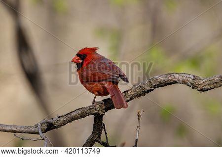Northern Cardinal (cardinalis Cardinalis) Perched On A Tree Branch During Spring. Selective Focus, B
