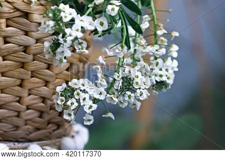 Branch Of Plant With Botanic Name 'lobularia Snow Princess' With Small White Flowers