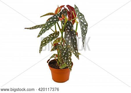 Funny Plant With Botanic Name 'begonia Maculata' With White Dots In Flower Pot Isolated On White Bac