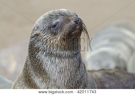 Wet brown fur seal pup