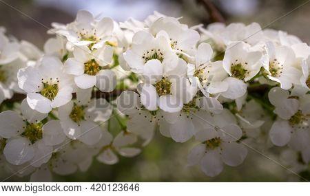 Spring Flowers Tree Branch Sunrise Nature Flower Background, Flower In Garden. Flower At Spring Day.