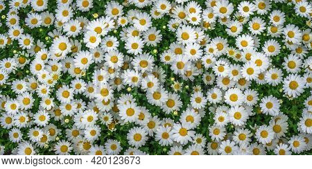 Daisies Spring Meadow Flower Nature Background Flower Nature Background Nature Flower Nature Field N