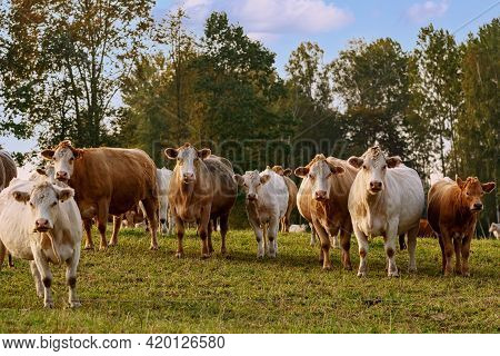 Cows On The Pasture In Rural Area