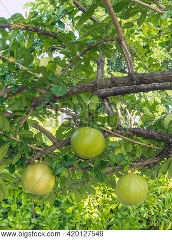 Cerbera Odollam Or Suicide Fruits On Tree Is A Thai Herbs With Properties Is Peel Used To Laxative,