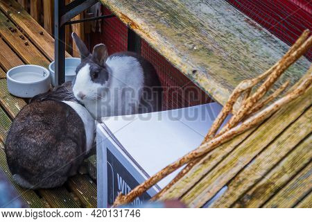 Two Rabbits Playing On The Houseboat Deck, Leiden, Netherlands