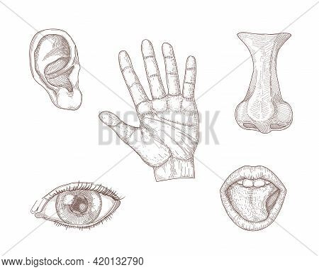 Five Human Senses Hand Drawn Vector Illustration Set: Taste, Smell, Sight, Listening, Touch. Engrave