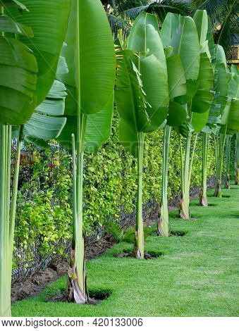 Lush Leafage Of Banana Palm Plants In A Row