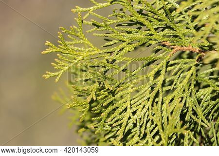 Green Branches Of Thuja Occidentalis, Also Known As Northern White Cedar, Eastern White Cedar Or Arb