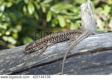 Catalan Wall Lizard, Podarcis Liolepis