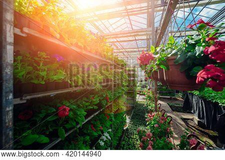 Growing Of Flower Seedlings On Shelves In Greenhouse