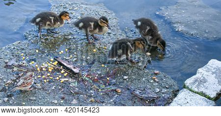 A Brood Of Mallard Ducklings Pecks At The Pond And Drinks Water. Little Ducks Have Pale Yellow And B