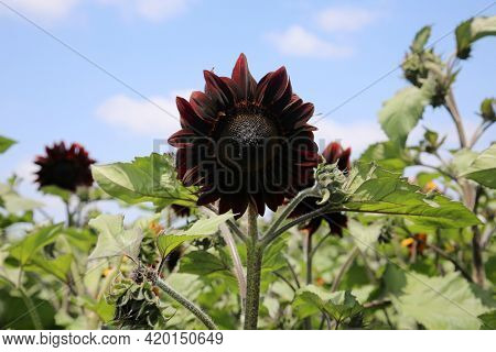 Moulin Rouge Sunflowers growing in a field. Yellow sunflower. Natural sunflower background. Beautiful sunflower. Landscape with sunflowers. Sunflower field.