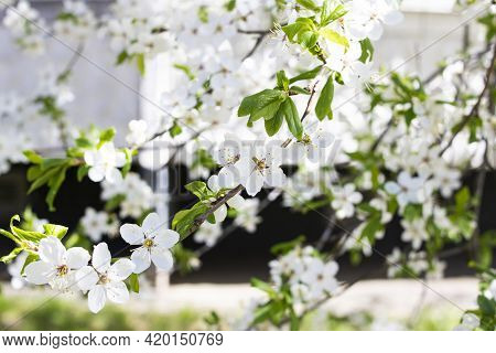 White Cherry Flowers On A Branches Close Up