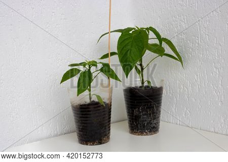 Bell Pepper Seedling With A Well-developed Root System On A White Background. Root And Stem, Leaves