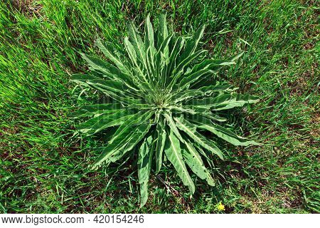 Plant With Leaves In A Circle . Green Uncultivated Herb