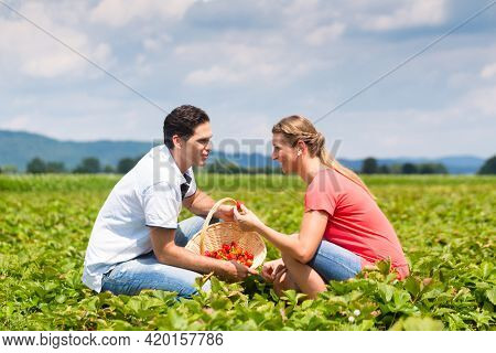 Couple picking strawberries themselves on a field