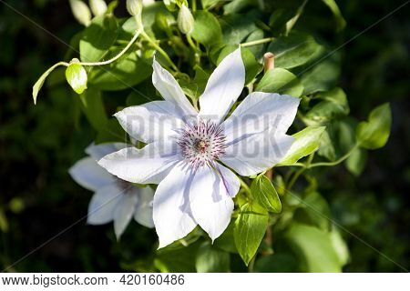 Light Purple Flower Of A Boulevard Clematis Blooms In Naples, Florida In A Botanical Garden.