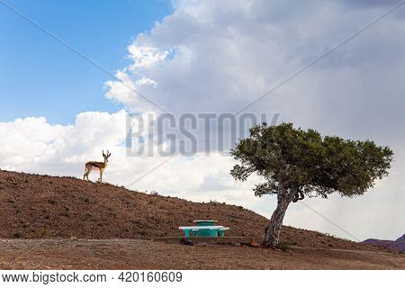 Springbok antelope. Travel to Africa. The magical desert in Namibia. Picturesque acacia tree and bench for the weary traveler.