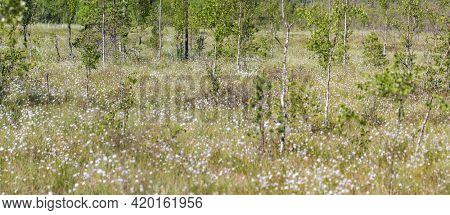 spring swamp in small white flowers