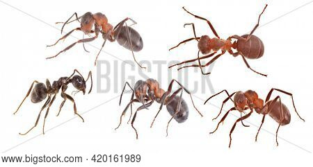 brown forest ants isolated on white background