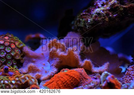 Pink Cabbage Leather Coral - (sinularia Brassica)