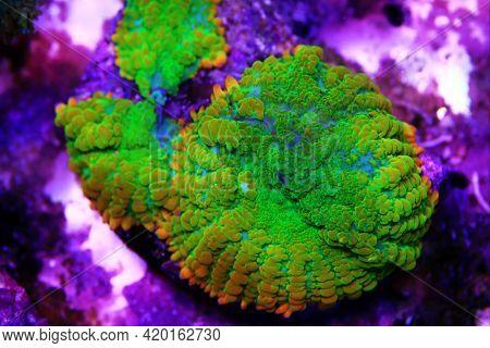 Sun-stone Rare And Expensive Rhodactis Soft Mushroom Coral