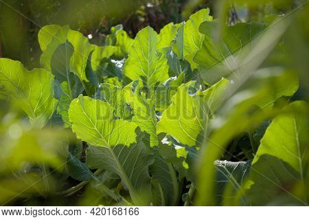 Picture Of Shiny Cauliflower Leaves In Sunlight