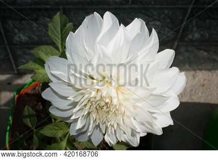 White Flower White Blooming Dahlia Closeup Picture