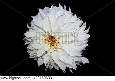 Beautiful White Dahlia Flower Isolated In Black Background
