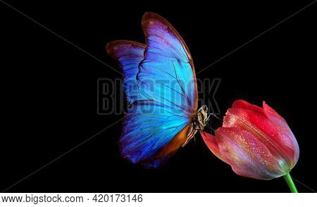 Beautiful Colorful Morpho Butterfly On A Flower On A Black Background. Tulip Flower In Water Drops I