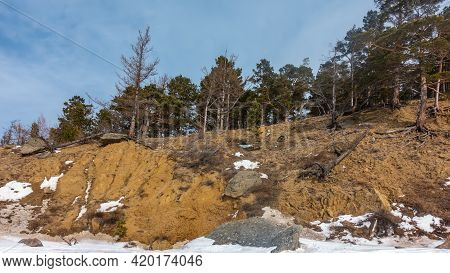 Coniferous And Deciduous Trees Grow On The Sandy Hillside. Soil Erosion Has Exposed Roots. Plots Of
